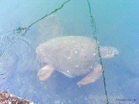 Turtle In Fethiye Harbour