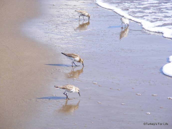 Sandpipers, Iztuzu Beach