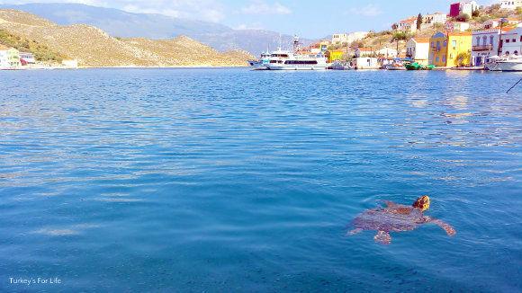 Caretta Caretta In Meis Harbour