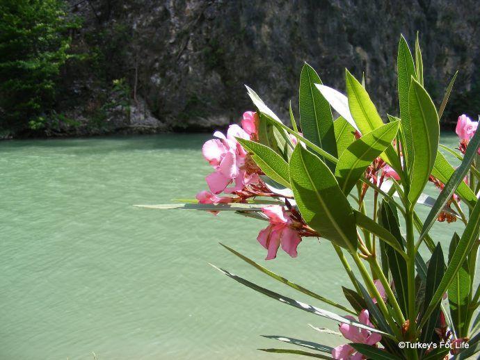 Oleander On The Dalaman River
