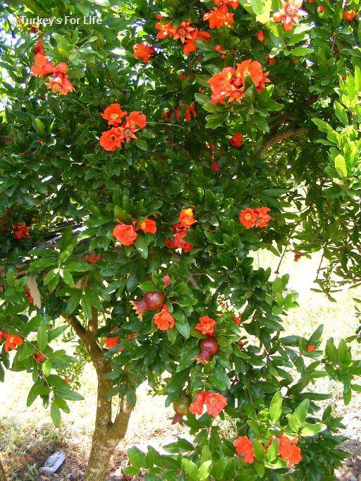 Pomegranate Tree Blossom