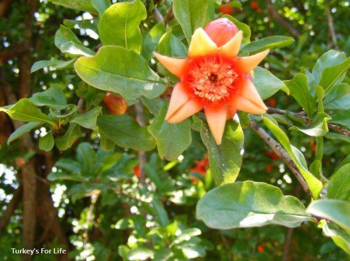 Pomegranate Tree Fruit