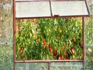 Turkish Red Peppers