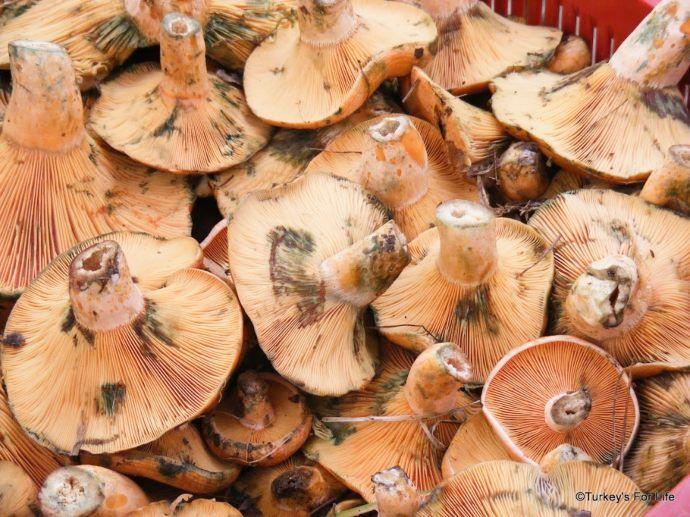 Saffron Milk Cap Mushrooms Çintar Kanlıca