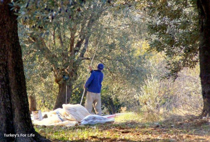 Olive Harvest In Yazıköy