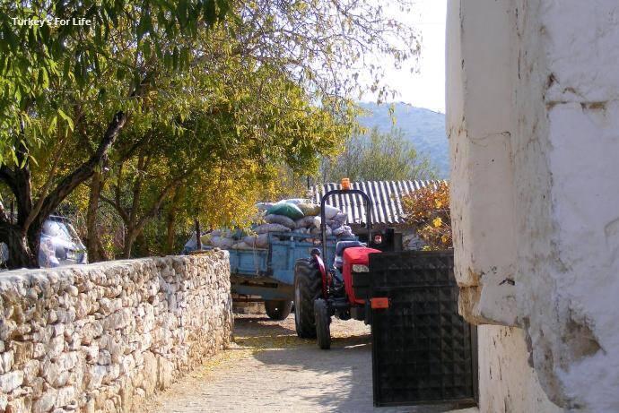 Yazıköy Olive Harvest