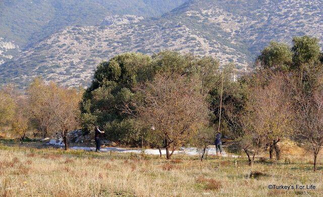 Olive Harvest, Yazıköy, Datça Peninsula