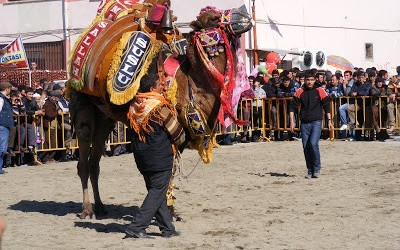 Turkish Traditional Camel Wrestling, Fethiye
