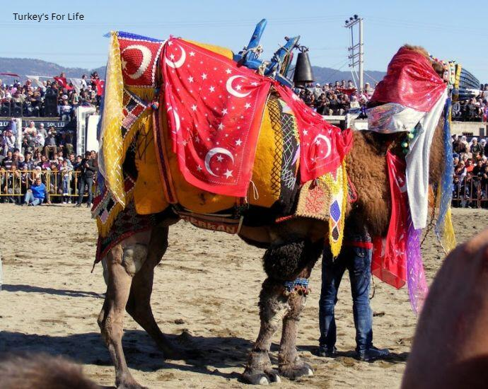 Turkish Camel Wrestling