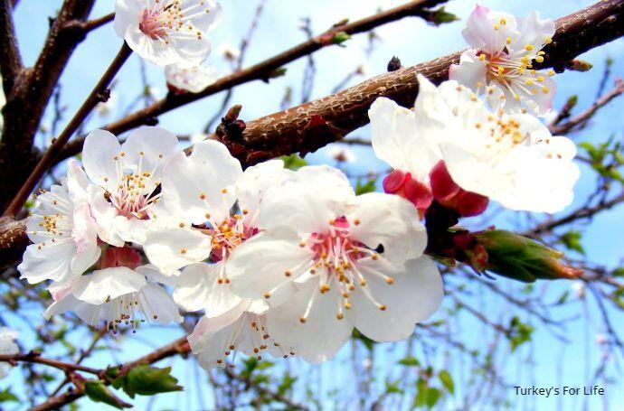 Kumluova Blossom