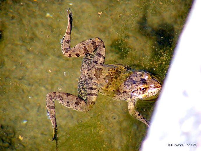 Peasant Frog, Letoon, Turkey