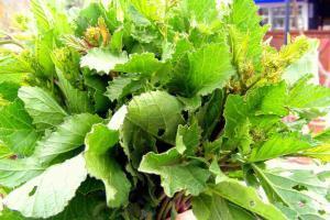 wild radish leaf salad