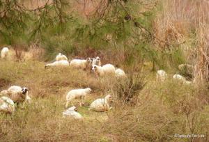 Lambing Season, Çiftlik