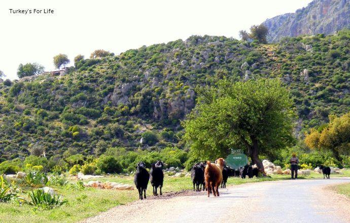 Kaş High Road Goats