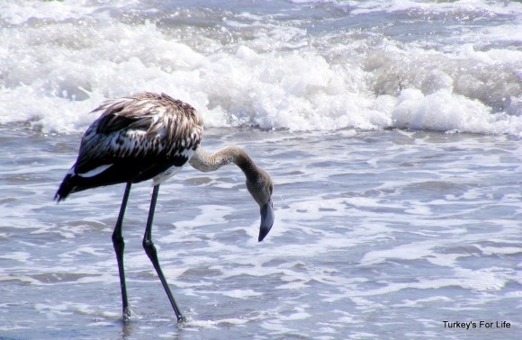 Flamingo, Koca Calis, Fethiye