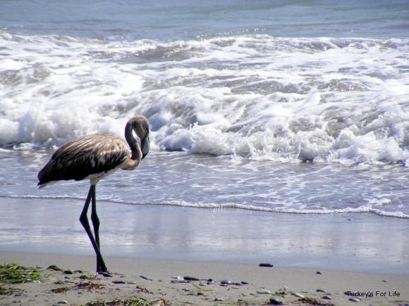 Koca Çalış Flamingo