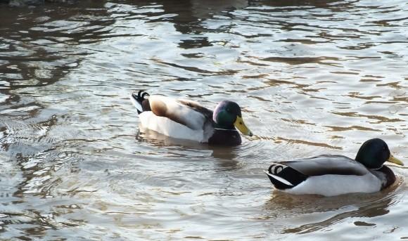 Fethiye Ducks