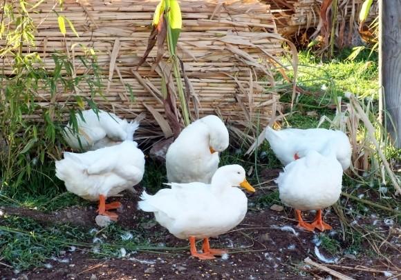 White Fethiye Ducks