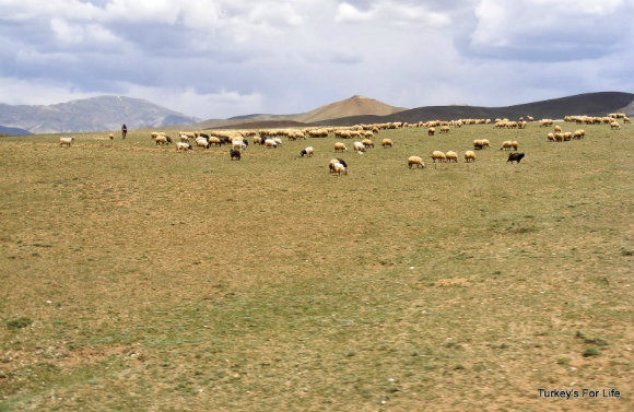 Livestock In East Turkey