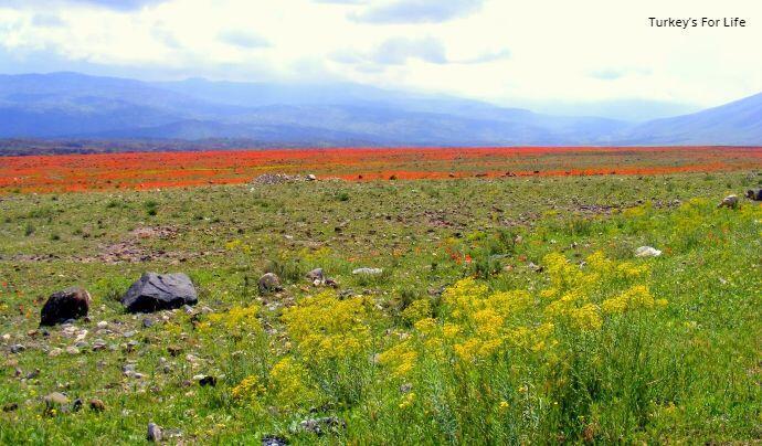 Poppies In East Turkey