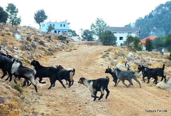 Babadağ Goats