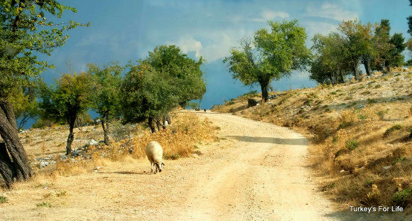Sheep On The Babadağ Road