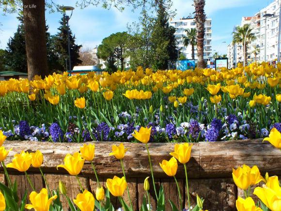 Tulips Along Antalya Seafront