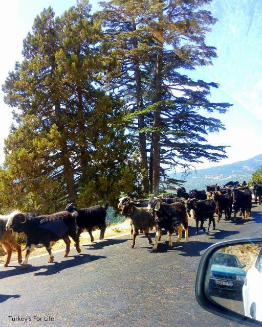 Mountain Goats Near Elmalı