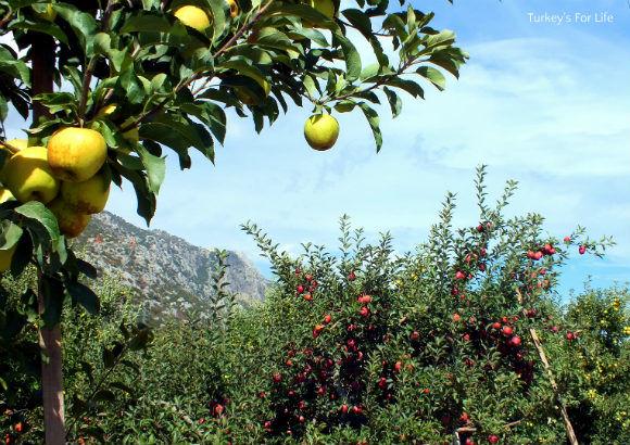 Eğirdir Apples