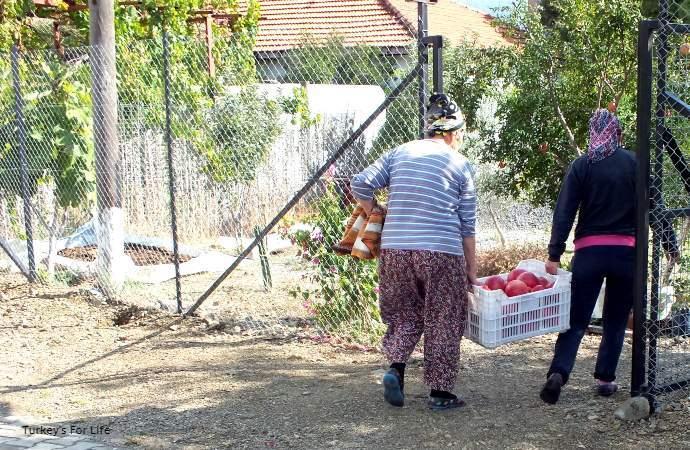 Pomegranate Harvest, Turkey