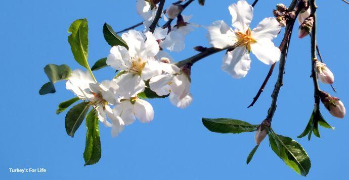 Almond Blossom Fethiye News