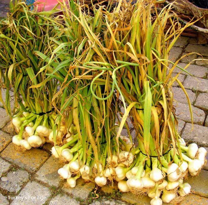 Seasonal Garlic